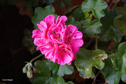 10th Sep 2020 - Geranium in bloom
