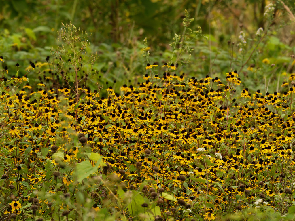 black-eyed susan patch by rminer