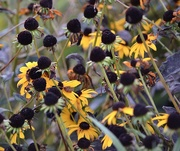 10th Sep 2020 - Black Eyed Susan