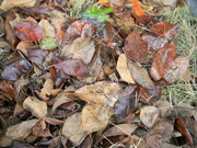 10th Sep 2020 - Pile of Leaves
