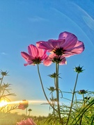 12th Sep 2020 - Flowers in the sunset.