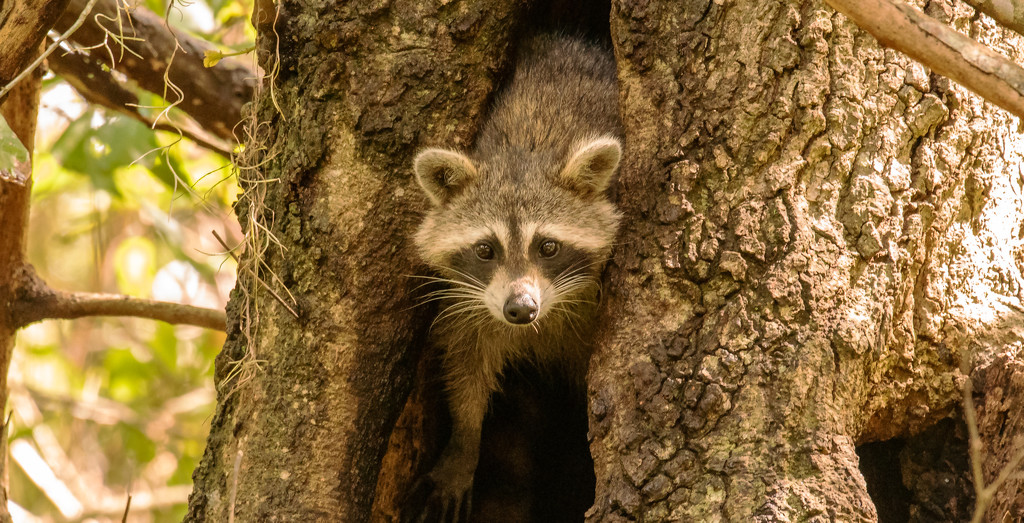 Rocky Raccoon Appeared for Just a Minute! by rickster549