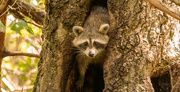 10th Sep 2020 - Rocky Raccoon Appeared for Just a Minute!