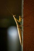 10th Sep 2020 - Praying Mantis