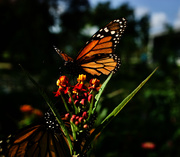 9th Sep 2020 - Monarch on milkweed