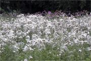 10th Sep 2020 - Wild Cotton Thistle