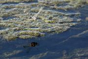 11th Sep 2020 - A beach dragonfly!