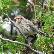 11th Sep 2020 - Yellow-rumped Warbler