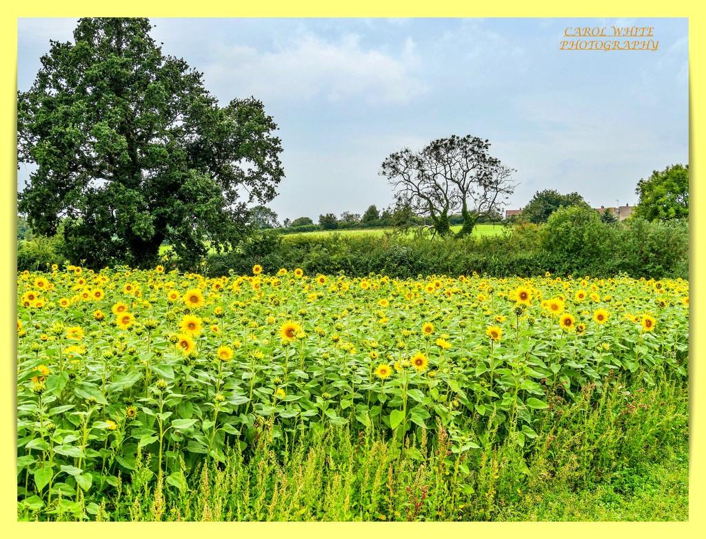 Field Of Sunshine by carolmw
