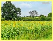 11th Sep 2020 - Field Of Sunshine