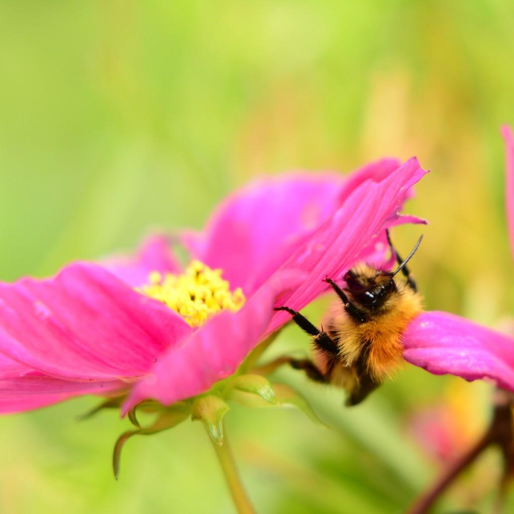 Bee.........(Common carder bumblebee)........ by ziggy77