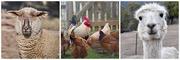11th Sep 2020 - Pigeons Farm Animals