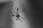 11th Sep 2020 - Spider and the Fly
