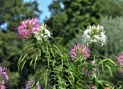 11th Sep 2020 - Cleome