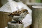 10th Sep 2020 - Sparrow