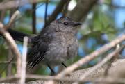 9th Sep 2020 - Gray Catbird