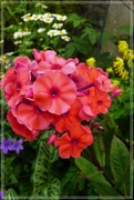11th Sep 2020 - Phlox Adessa (orange )
