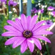 11th Sep 2020 - Purple daisy