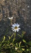 8th Jul 2020 - Daisy on the edge