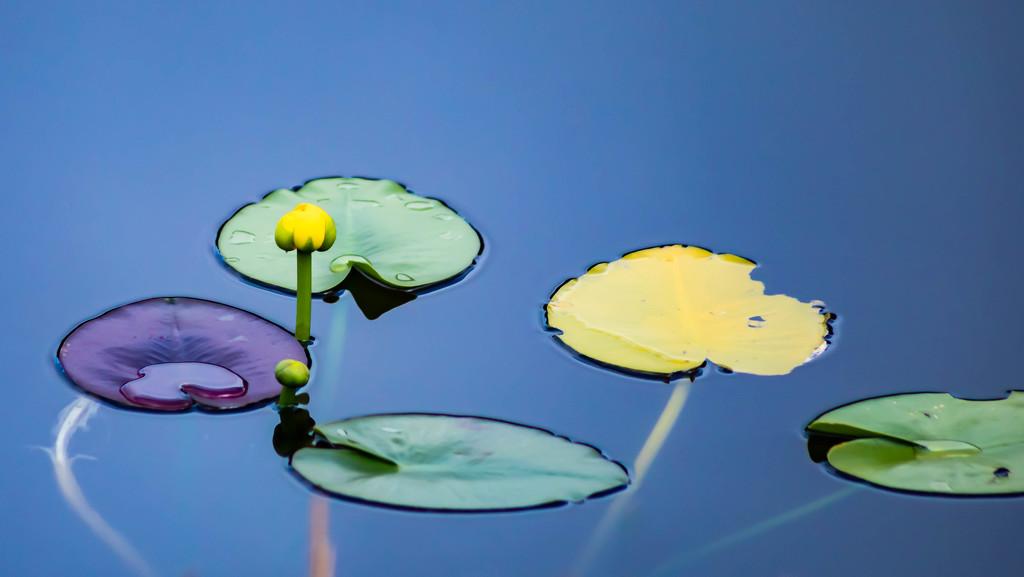 Spatterdock / pond-lily.  by dutchothotmailcom