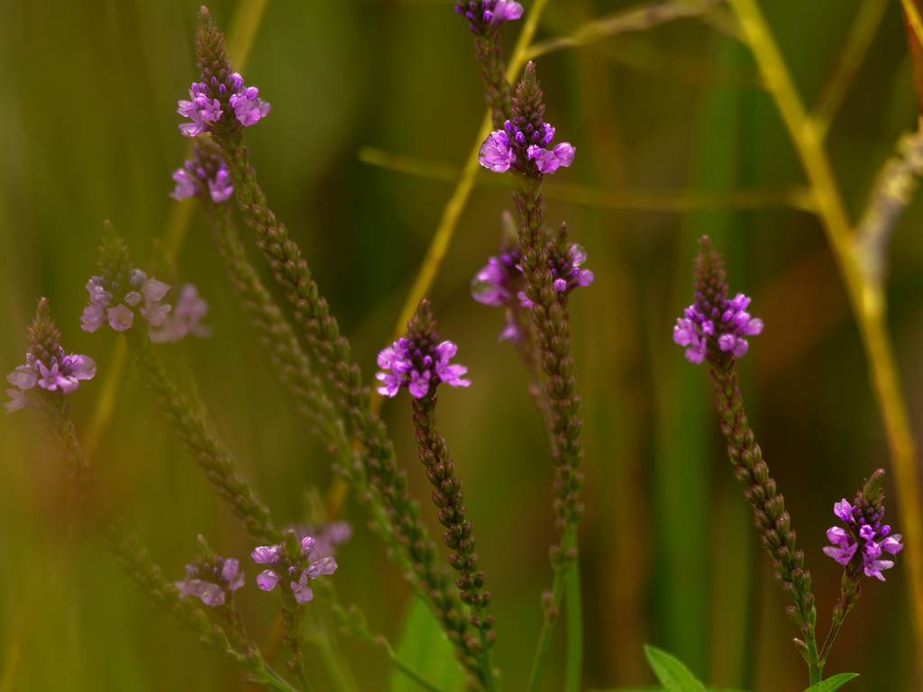 vervain by rminer