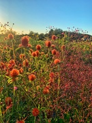 13th Sep 2020 - Red pompons field.