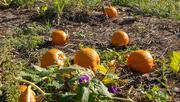 11th Sep 2020 - Pumpkins and Petunias