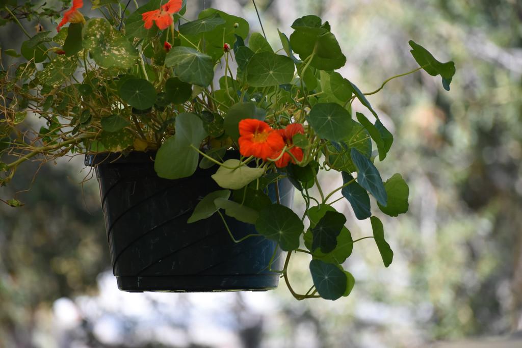 Nasturtium Hanging Basket by bjywamer