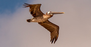11th Sep 2020 - Brown Pelican Fly-by!