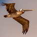 Brown Pelican Fly-by!