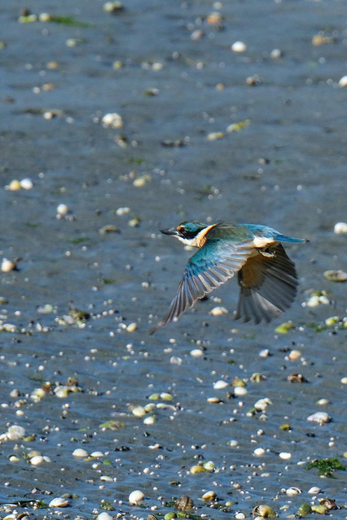 Kingfisher in flight by maureenpp