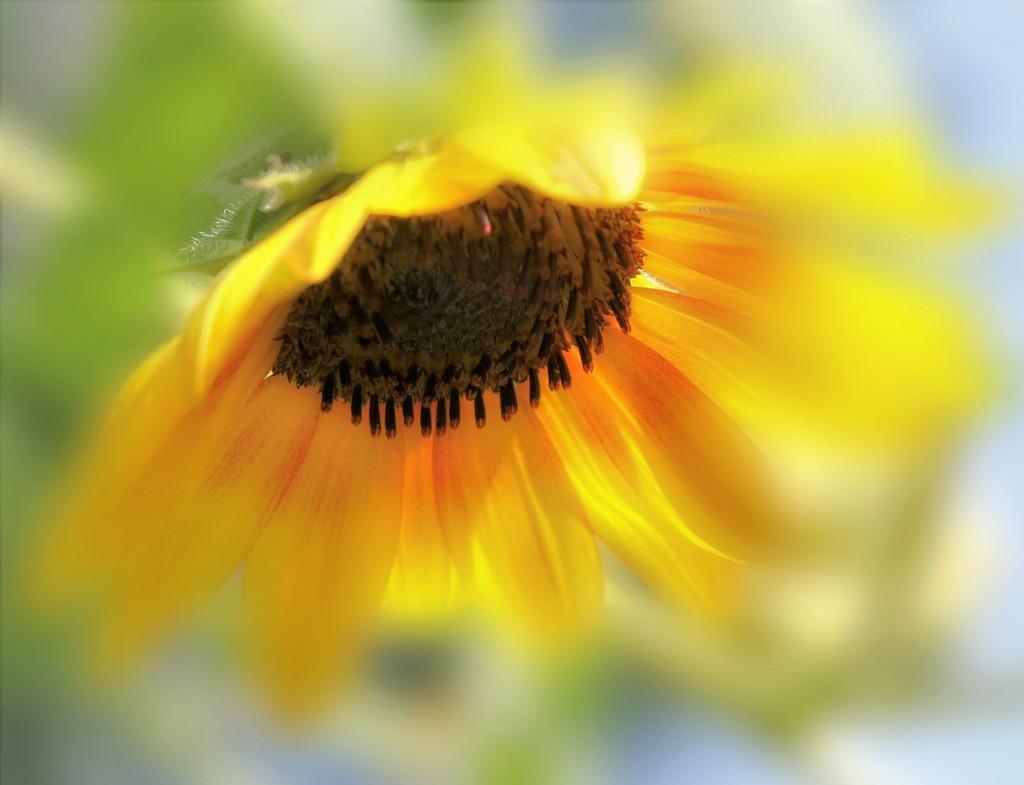 Sunflower Glow by lynnz