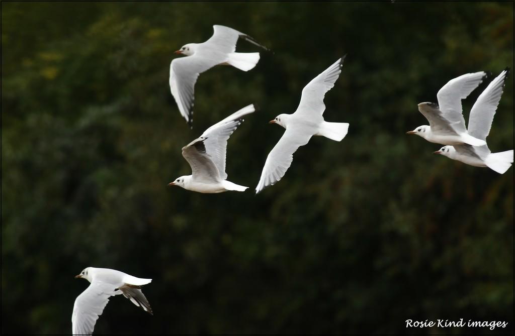 A colony of gulls by rosiekind