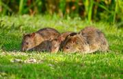 9th Sep 2020 - Rats