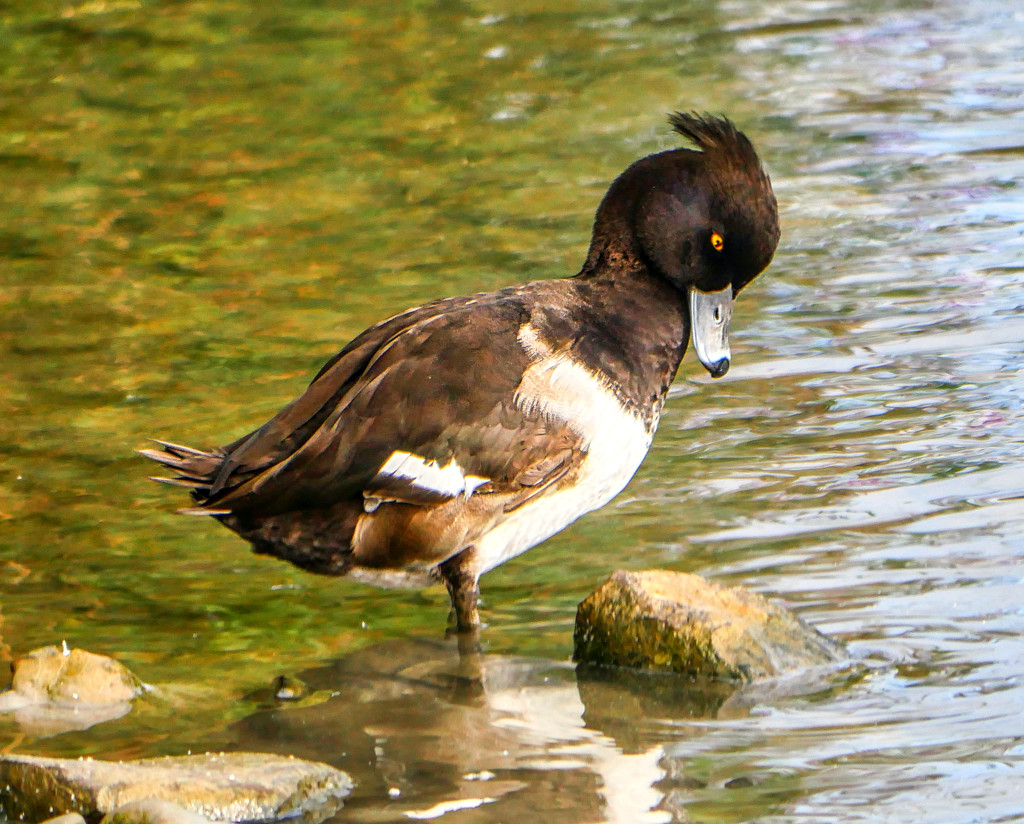 Tufted Duck. by tonygig