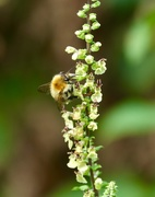 12th Sep 2020 - Busy Bee