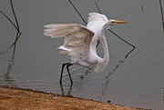 11th Sep 2020 - LHG-1804- Great egret wings up