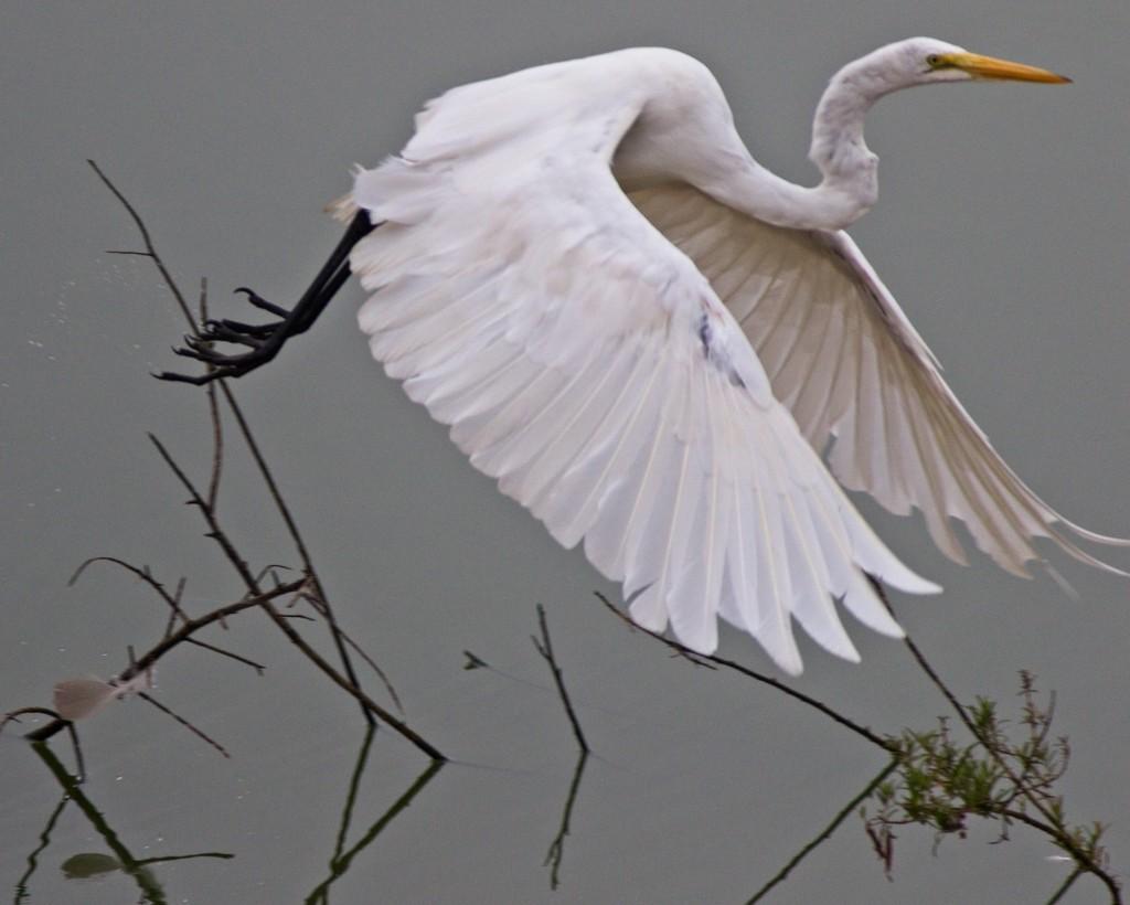 LHG-1806- Great egret lift off by rontu
