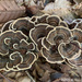 Turkey Tail Fungi by falcon11