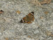 12th Sep 2020 - Butterfly on Driveway