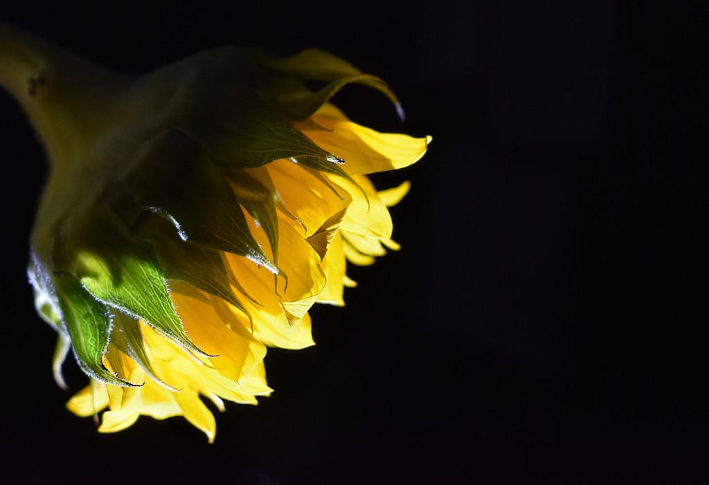 Minimal Sunflower by homeschoolmom