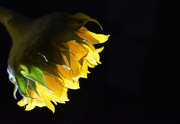 11th Sep 2020 - Minimal Sunflower