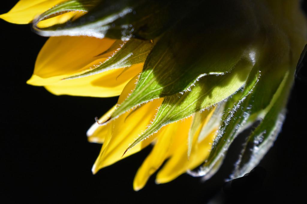 Sunflower Petals on Black by homeschoolmom
