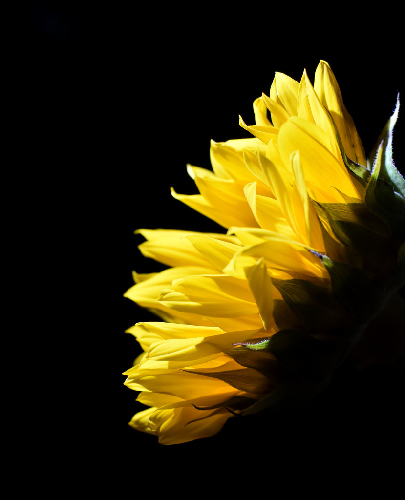 Sunflower Yellow by homeschoolmom