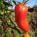 An elegant tomato