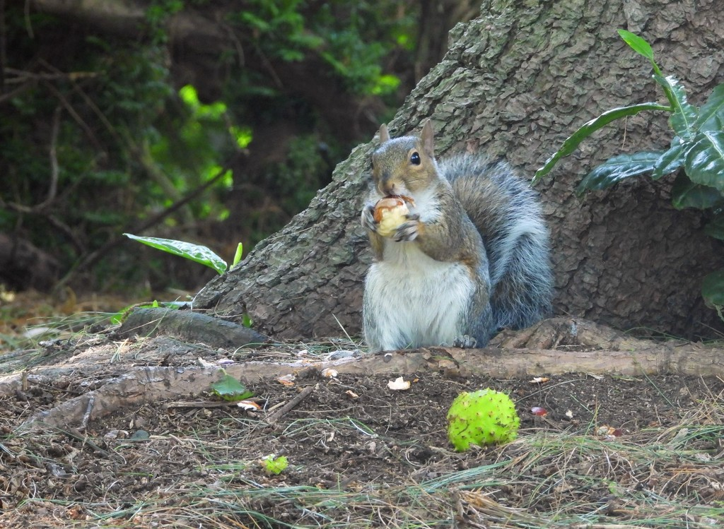 Squirrel eating a horse chestnut by roachling