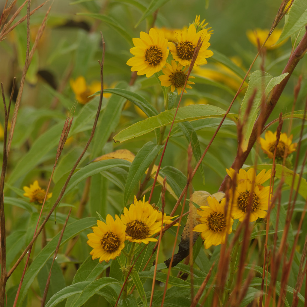sawtooth sunflowers by rminer