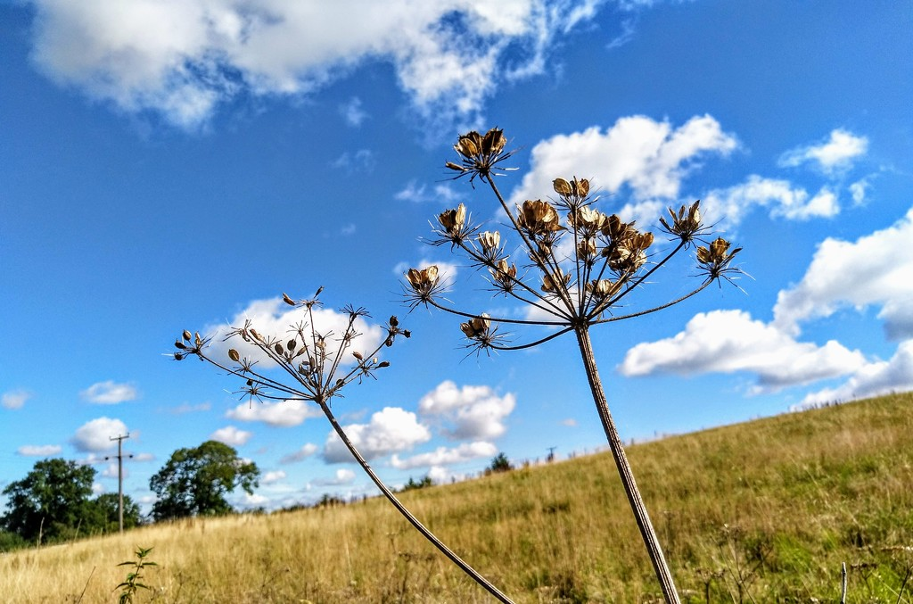Dried umbellifers by boxplayer