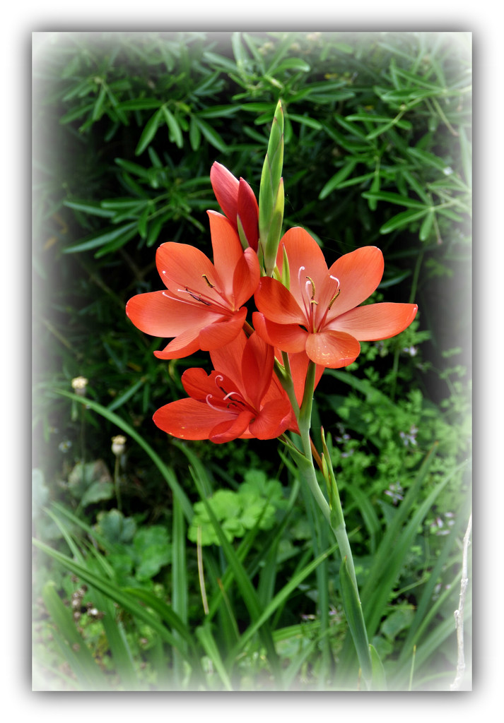 Kaffir  Lily  by beryl