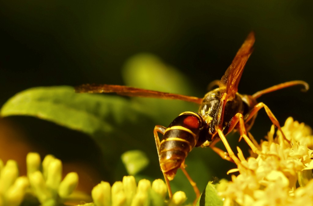 Paper Wasp and Goldenrod  by mzzhope